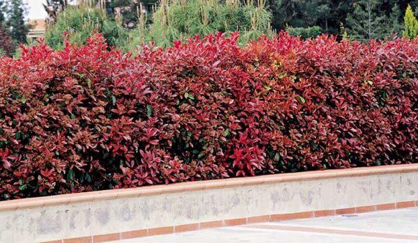 Las plantas m s rom nticas para tener xito en tu jard n - Setos de jardin ...