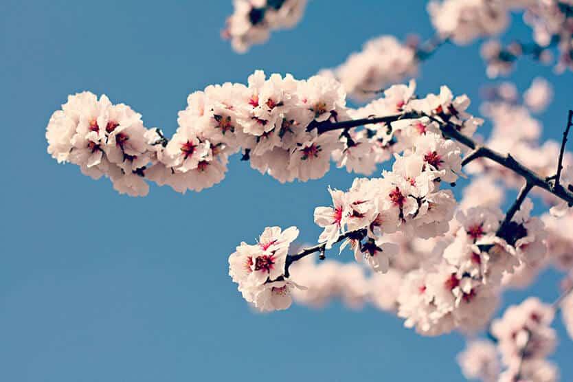 almendro-en-flor-caro-musso
