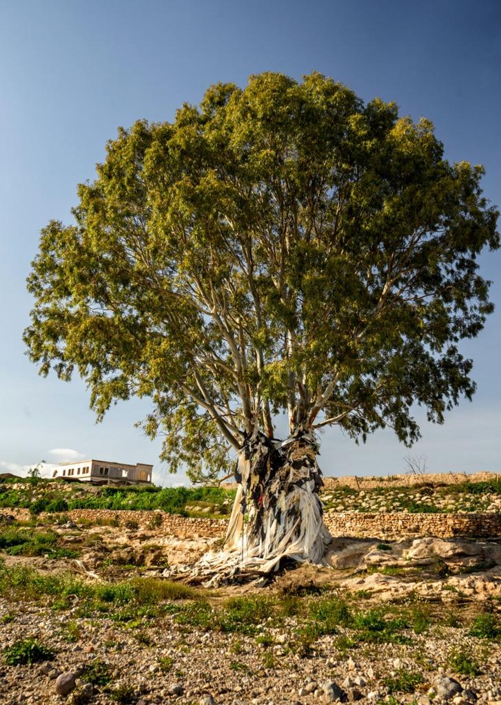 eucalipto con falda